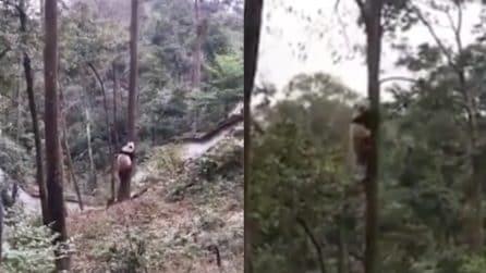 Si avvicina all'albero e inizia la scalata: il piccolo panda acrobata