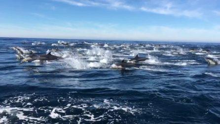 Il branco di delfini nuota accanto alla barca: uno spettacolo incredibile
