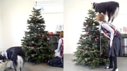 La padrona sta facendo l'albero, il cucciolo si avvicina subito alle palline: le immagini bellissime