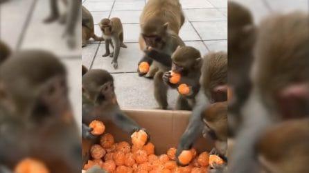 """Il """"buffet"""" è aperto: queste simpatiche scimmie adorano i mandarini"""
