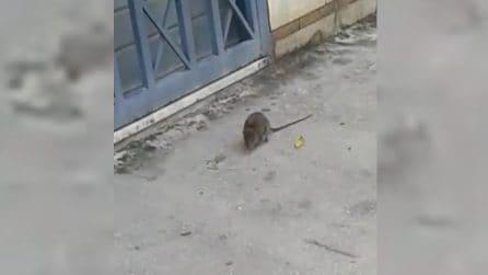 Casalnuovo (Napoli) grosso topo davanti a una scuola elementare
