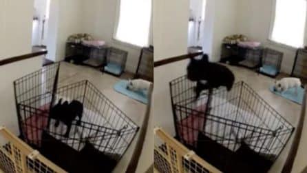 Il suo cane scappa, il padrone installa una telecamera per scoprire come fa: le immagini esilaranti
