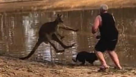 Canguro attacca i suoi cani: l'uomo lo affronta e salva anche la sua birra