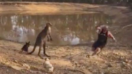 Un canguro aggredisce un uomo: i suoi cani lo difendono