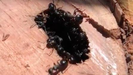 Le formiche carpentiere a lavoro: ciò che fanno è incredibile