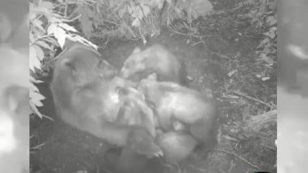 Mamma orso e i suoi cuccioli: la scena tenerissima ripresa dalle telecamere