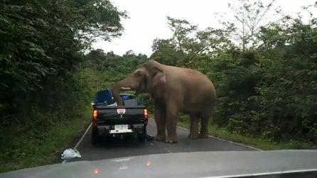 L'elefante si avvicina al pick up e rovista tra i bagagli: paura a bordo del veicolo