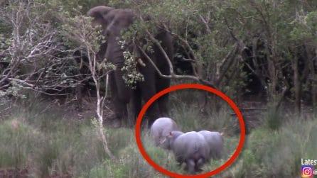 Dietro l'albero c'è un enorme elefante: la reazione dei 3 baby ippopotami