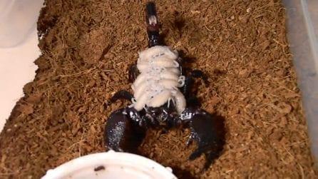 Mamma scorpione porta i suoi cuccioli sulla schiena: il comportamento materno