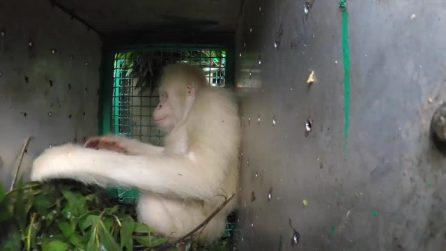 Le splendide immagini della liberazione di Alba, l'unico orango albino conosciuto