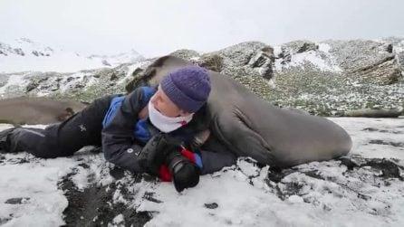 Si stende per scattare delle fotografie: gli elefanti marini si fiondano su di lei