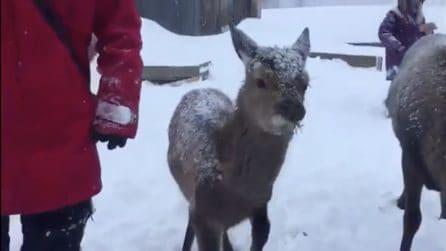 Neve altissima, a soffrire gli animali in cerca di cibo: l'aiuto dei volontari