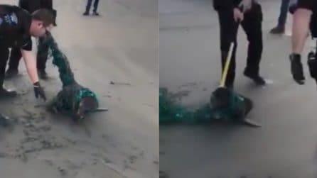 La foca sta morendo soffocata dalla plastica: le immagini scioccanti