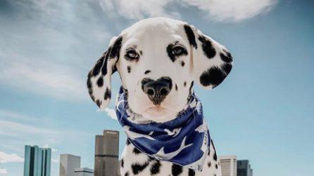 Il cucciolo di dalmata più dolce che ci sia: ha anche il naso a forma di cuore