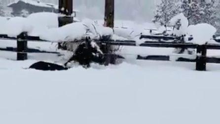 I cavalli giocano nella neve: le immagini bellissime