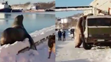 Il leone marino esce dall'acqua e raggiunge il camion: quello che succede è esilarante
