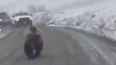 Paralizza il traffico: le auto si ritrovano davanti un enorme orso