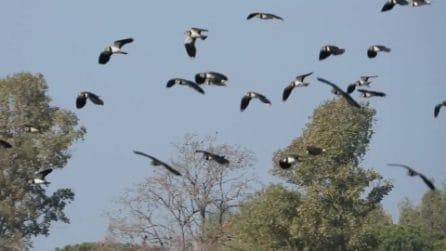 Centinaia di pavoncelle 'invadono' il lago di Fogliano: le immagini spettacolari