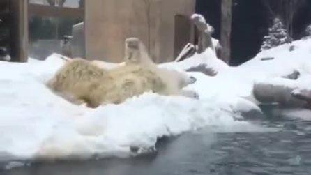 L'orso polare si rotola nella neve: le immagini tenerissime