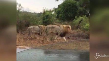 Arriva un branco di leoni tra le auto: incontro da brividi