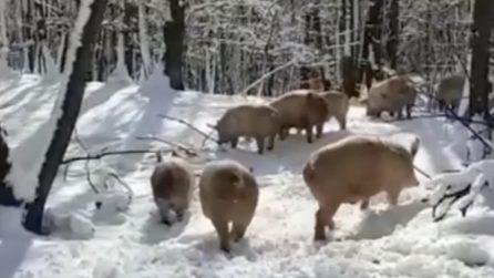 Dopo la nevicata i maiali escono alo scoperto: la reazione è bellissima