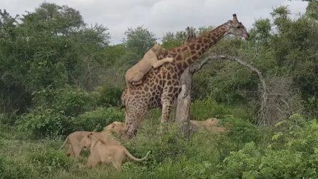 Un leone si attacca al collo e altri 4 alle zampe, così la giraffa si difende dall'attacco