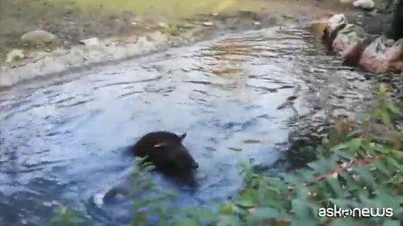 Ester e Alba, le tapire temerarie fanno un bagno ghiacciato