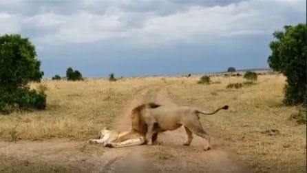 Il leone sveglia la leonessa: la reazione del felino è spaventosa