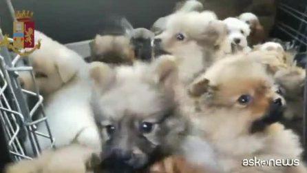 Traffico illegale di cani, fermata banda in Italia e Slovacchia