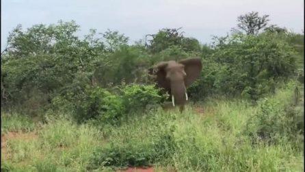 Turisti finiscono in mezzo al branco di elefanti arrabbiati