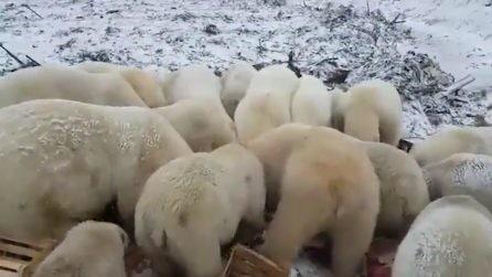 Orsi polari invadono un villaggio e seminano il panico