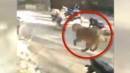Abitanti terrorizzati: un leone fa irruzione tra la gente del villaggio