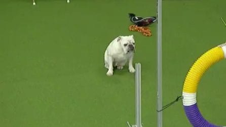 All'apparenza non si direbbe, ma questo cane è velocissimo e super agile: la prova è spettacolare