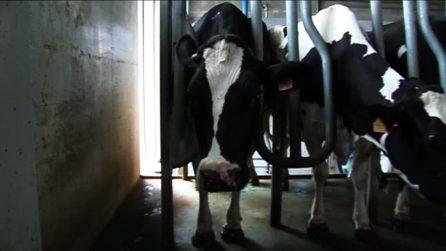 La verità sul latte: cosa succede davvero negli allevamenti italiani