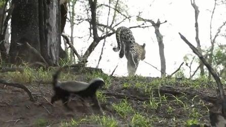 Tasso del miele salva il suo piccolo dall'attacco di un leopardo e lo mette in fuga