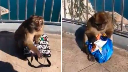 Scimmia ruba la borsa a una turista: la apre e mangia le sue patatine
