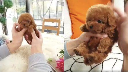 Il cane che tutti desiderano: piccolo e tascabile