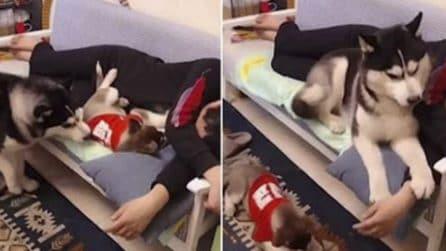 L'husky è geloso di suo figlio: lo sposta e si accomoda sul divano accanto al suo padrone