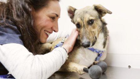 La storia di Piedino: il primo cane al mondo con le protesi a tutte e 4 le zampe