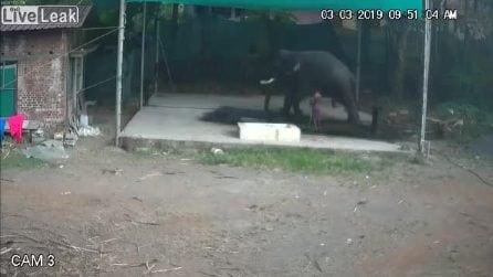 Addestratore picchia l'elefante: la vendetta dell'animale è atroce