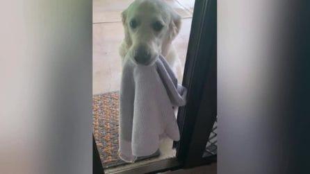 Il cane sa che ha le zampette sporche: si presenta con un asciugamano per pulirle ed entrare in casa