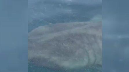 Ravenna, l'avvistamento in mare: esemplare di squalo elefante