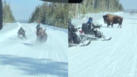 Il bisonte blocca la strada ai turisti e carica le motoslitte: attimi di panico