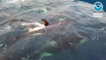 Rarissime orche di tipo D filmate al largo del Cile: forse sono una nuova specie
