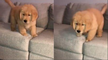 Non trova il coraggio di saltare dal divano: il cucciolo più dolce che esista