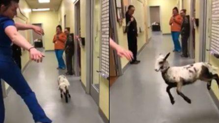 In questa clinina veterinaria ci si diverte un mondo: la capretta balla con l'infermiera