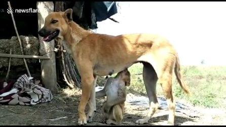 La cagnolina adotta una piccola scimmietta rimasta orfana