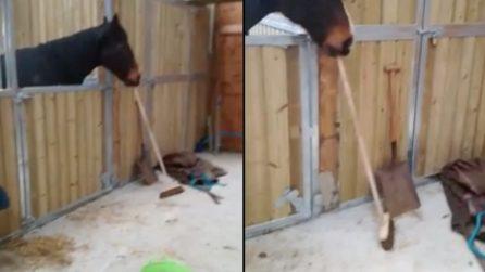 Prende la scopa e inizia a pulire: il cavallo servizievole