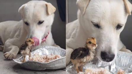 Il pulcino è affamato e si avvicina al suo pranzo: il cane dà una grande lezione di vita