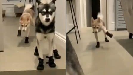 Mettono le sneakers ai cani: il loro modo di camminare diventa comicissimo